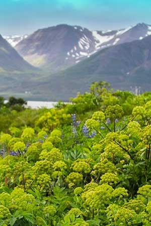 Image: Icelandic Botanical • Angelica archangelica